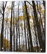 Amongst The Trees Acrylic Print