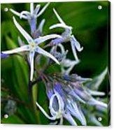 Amsonia Blue Stars Acrylic Print