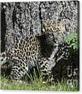 Amur Leopard Cub Antics Acrylic Print