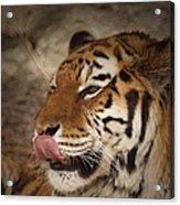 Amur Tiger 3 Acrylic Print by Ernie Echols