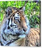 Amur Tiger 5 Acrylic Print