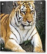 Amur Tiger Acrylic Print