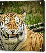 Amur Tiger Smile Acrylic Print