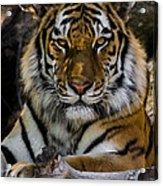 Amur Tiger Watching You Acrylic Print