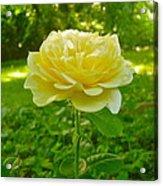 Amy's Texas Yellow Rose Acrylic Print