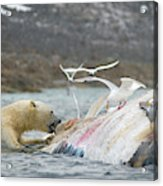 An Adult Polar Bear Ursus Maritimus Acrylic Print