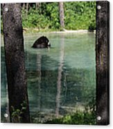 Bear In The Afternoon Acrylic Print