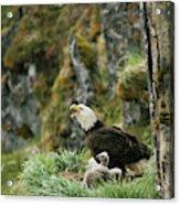 An American Bald Eagle And Chicks Acrylic Print