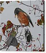 An American Robin Remembers Acrylic Print