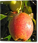 An Apple After Frost Acrylic Print