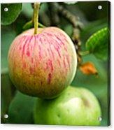 An Apple - Featured 3 Acrylic Print