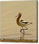 An Avocet Wading The Shore Acrylic Print