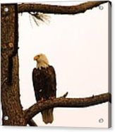 An Eagle Day Dreaming Acrylic Print