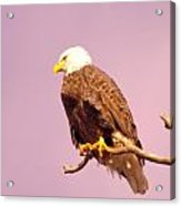 An Eagle Hanging Out Acrylic Print