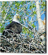 An Eagle In Its Nest  Acrylic Print