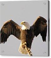 An Eagle Posing  Acrylic Print