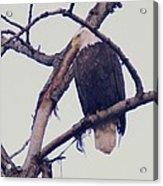 An Eagle Resting  Acrylic Print