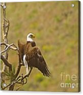 An Eagle Stretching Its Wings Acrylic Print