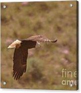 An Eagle Turns  Acrylic Print