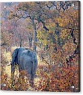 An Elephant Making Its Way Acrylic Print