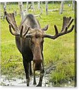 An Elk Standing In A Puddle Of Water Acrylic Print by Doug Lindstrand