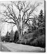 An Elm Tree At The Side Of A Road Acrylic Print