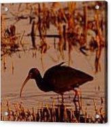An Ibis Feeding Acrylic Print