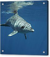 An Indo Pacific Bottlenose Dolphin Acrylic Print