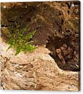 An Isolated Moss Plant Acrylic Print