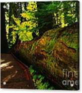 An Old Fallen Tree Acrylic Print