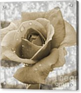 An Old Fashion Rose Acrylic Print