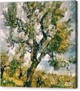 An Old Olive Grove Acrylic Print