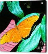 An Orange Butterfly Acrylic Print