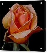 An Orange Rose Acrylic Print
