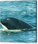 An Orca Surfaces  Acrylic Print