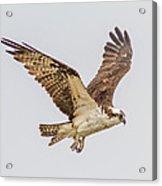 An Osprey Acrylic Print