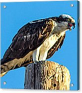 An Osprey Calling Acrylic Print