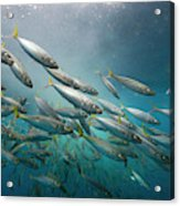 An Underwater View Of Schooling Fish Acrylic Print