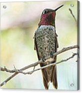 Ana Hummingbird Acrylic Print