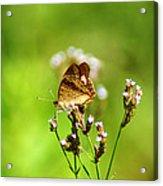 Anartia Jatrophae Acrylic Print