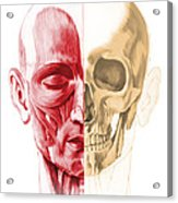Anatomy Of A Male Human Head, With Half Acrylic Print by Leonello Calvetti