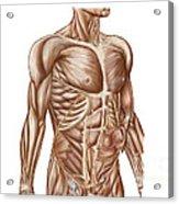 Anatomy Of Human Abdominal Muscles Acrylic Print