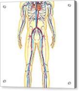 Anatomy Of Human Body And Circulatory Acrylic Print by Stocktrek Images