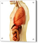 Anatomy Of Human Body Showing Whole Acrylic Print by Stocktrek Images