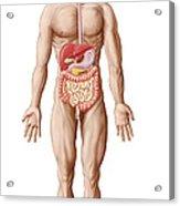 Anatomy Of Human Digestive System, Male Acrylic Print
