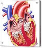 Anatomy Of Human Heart, Cross Section Acrylic Print