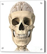 Anatomy Of Human Skull, Cutaway View Acrylic Print