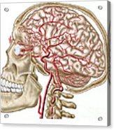 Anatomy Of Human Skull, Eyeball Acrylic Print by Stocktrek Images