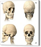 Anatomy Of Human Skull From Different Acrylic Print by Leonello Calvetti