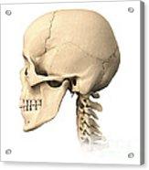 Anatomy Of Human Skull, Side View Acrylic Print